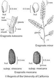 Eragrostis minor