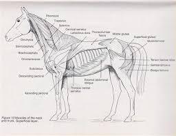 Horse Anatomy Chart Equine Muscle Anatomy Chart Horse