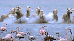 wild horses running through water.  Through Wild Horses Run Into Flamingos Feeding  BBC Earth Throughout Running Through Water