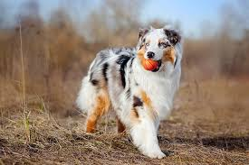 Toy Australian Shepherd Size Chart Australian Shepherd Dog Breed Information