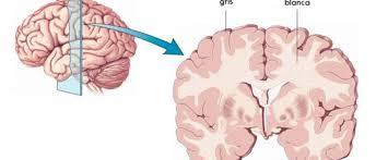 materia gris del cerebro estructura y