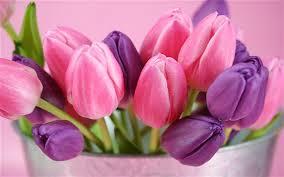 purple tulips flowers 2560x1600 hd