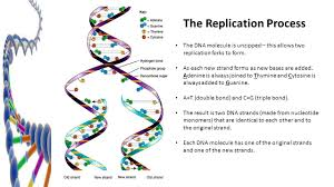 Dna Replication Chapter Ppt Download