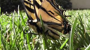 big pictures of butterflies. Fine Butterflies Intended Big Pictures Of Butterflies Y