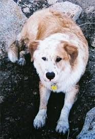 australian shepherd golden retriever mix.  Mix Topdown View Of A Brown With White Australian Retriever That Is Laying In  Dirt It  On Shepherd Golden Mix G