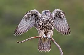 Птица кречет фото описание доклад информация сообщение видео читать Птицы кречет лат falco rusticolus изображение