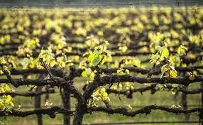 Pruning And Grape Vine Training The Basics Of Wine Grape