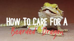Learn How To Care For Your Bearded Dragons Guide For Beginner