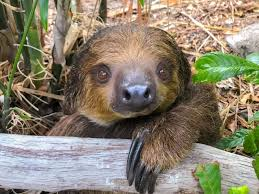 a young male linnaeus s two toed sloth named chico has joined the other residents