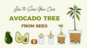 Avocado Tree Size Chart Avocado Tree Vector Growing Guide Green Simple Instruction