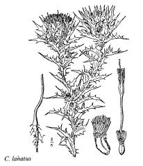 Fam. Staphyleaceae - florae.it