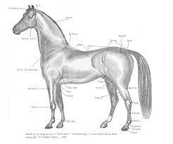 Equine Conformation Wikipedia