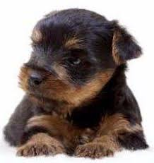 Check out our free printable coloring pages organized by category. Details Of Yorkie Coloring Yorkshire Terrier Information Center