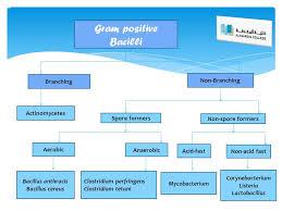 Gram Positive Bacilli Gram Positive Bacilli Branching Non Branching Actinomycetes Ppt