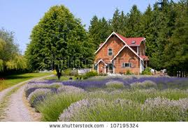 Lavender farm landscape with house and tree