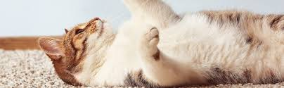 get cat smell out of your carpet