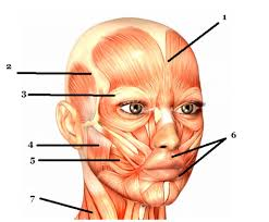 face anatomy muscles of face anatomy choice image human body anatomy