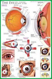 Wall Chart Of Human Anatomy Anatomy Of The Human Eye Wall Chart Poster Eurographics