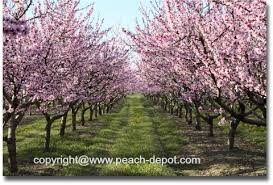 pictures of peach blossoms beautiful