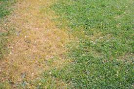 Brown Patch Disease What Is Brown Patch Lawn Disease River City Landscaping Blog