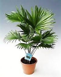 fan palm. 40/50 cm \u0026quot;livistona rotundifolia fan palm\u0026quot; palm