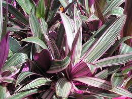 tradescantia spathacea stripe me pink groundcover syn rhoeo discolor
