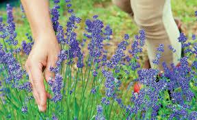 Αποτέλεσμα εικόνας για Αρωματικα φυτα καλλιεργεια