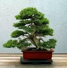 seeds of oriental cypress 5 pcs thuja