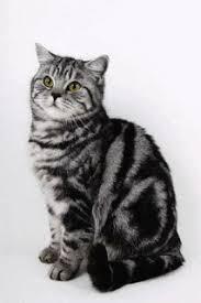 British Shorthair Weight Chart Kg Cats British Cat