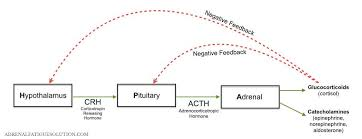 Hpa Axis Hpa Axis Dysfunction Adrenal Fatigue Solution
