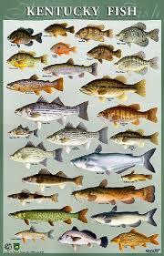 Types Of Bass Fish Chart Ky Fish Fish Fish Chart Freshwater Fish