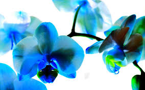 flower wallpaper blue orchid cyan colored orchid wallpaper 232491