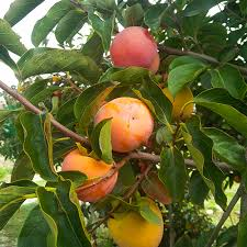 50 Date Plum Persimmon Tree Seeds Diospyros Lotus USALotus Fruit Tree