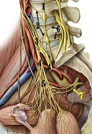 Image result for nerve supply of digestive system