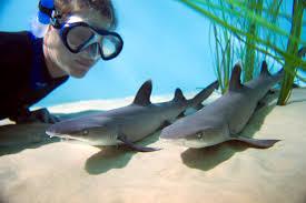 cute baby great white shark. Simple Cute Cute Baby Great White Sharks  Photo16 To Baby Great White Shark Y