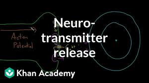 Neurotransmitter Release Video Khan Academy