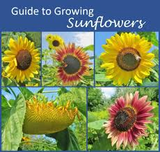 Sunflower Growing Chart Guide To Growing Sunflowers