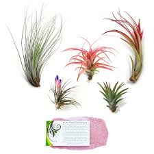 The Elegant Collection of 5 Air Plants + 1 Year Air Plant Fertilizer Pack