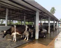 Cow Feeding Chart Dairy Project 50 Cows Business Plan 50 Cows Model Apicol