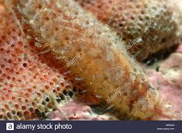 Moss Mats Close Up Of Colony Of Bryozoa Moss Animals Sea Mats Ectoprocts