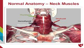 Thyroid Anatomy Anatomy Of The Thyroid Surrounding Structures E Gallery