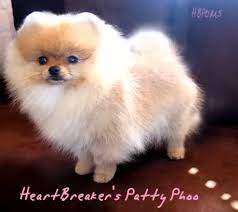 teacup pomeranian puppies for sale. Delighful For White Pomeranian Teacup Puppies For Sale Puppy Los Angeles  Pomeranians On