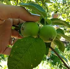 Our Fruits  King Orchards  Fresh FruitWhat Fruit Trees Grow In Michigan
