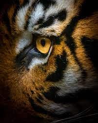 brown tiger photo – Free Image on Unsplash