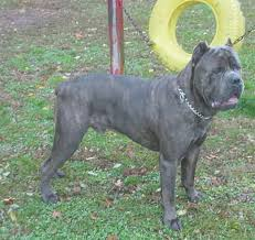 10 Things To Know Before Judging The Cane Corso Modern