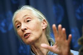 Jane Goodall Quotes Mesmerizing Jane Goodall Quotes About Chimps Human Responsibility