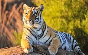 Best Tiger Wallpapers Hd - 2880x1800 ...