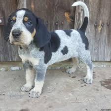 bluetick hound borador puppy