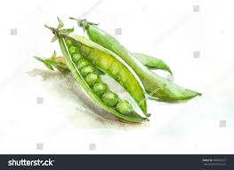 peas hand drawn watercolor painting on white background