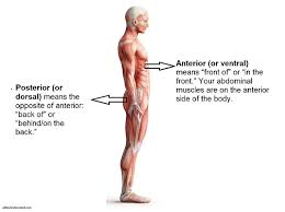 Anatomical Position And Directional Terms Anatomy And